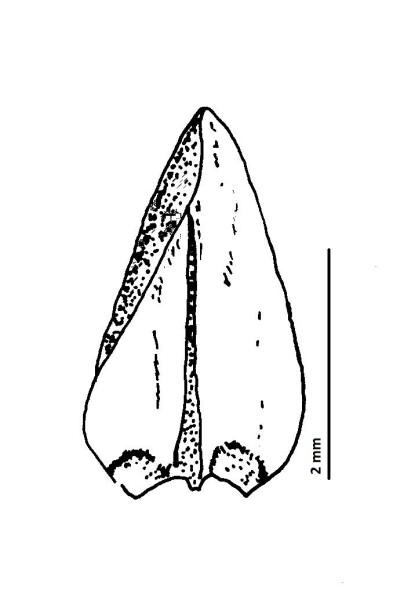Calliergon giganteum. Teikn. ÁHB.