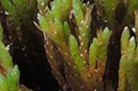 Anomobryum julaceum- bjartmosi