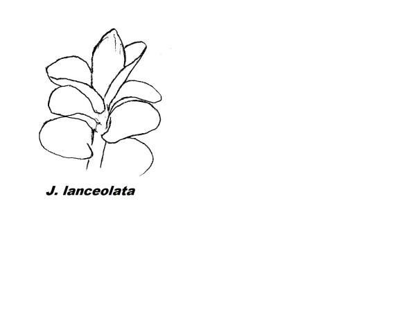 j_lanceolata