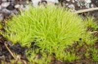 Bartramia ithyphylla. - Ljósm. ÁHB.