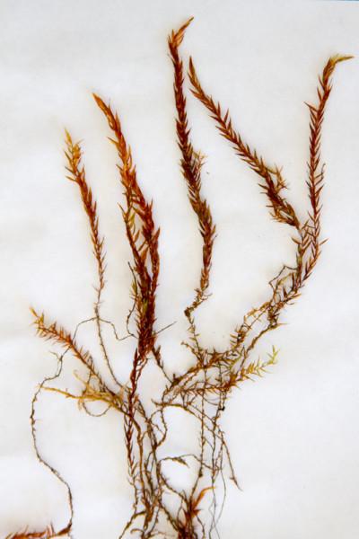 fontinalis (1)