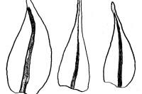 Blöð á Hygroamblystegium varium, lækjatjátlu, eru mjög breytileg. - Teikn. ÁHB.