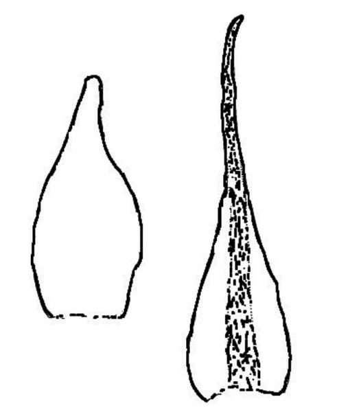 Blöð af A. rupestris til vinstri og A. blyttii til hægri. - Teikn. ÁHB.