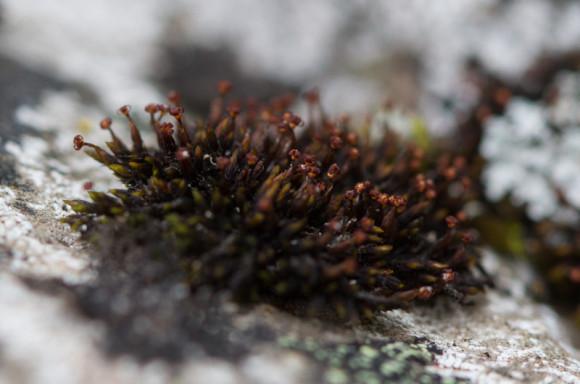 Andreaea rupestris (holtas´ti) er mjög algengur á steinum og auðþekktur. - Ljósm. ÁHB