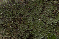 Bryum argenteum, a silver cap, grows on the streets and steps, in the sandy soil. - Light. AHB.